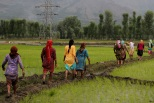 Kashmiri women walk towards their homes after working in the paddy fields [Showkat Shafi]